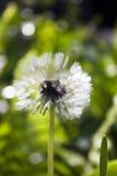 Dandelion (Taraxacum) Stock Photos
