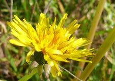 Dandelion Taraxacum in Flower in Sunlight. In autumn. Themes: wildfowers, weeds royalty free stock photos