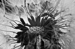 Dandelion taraxacum macro. A black and white Stock Images
