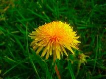 Dandelion Taraxacum medyczny officinale Zdjęcia Royalty Free