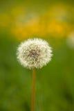 Dandelion Taraxacum officinale łąka Fotografia Royalty Free