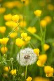 Dandelion Taraxacum officinale łąka Zdjęcie Royalty Free