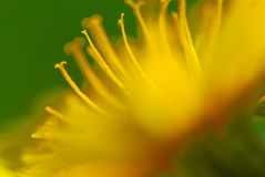 Dandelion (taraxacum officinale) Royalty Free Stock Photography