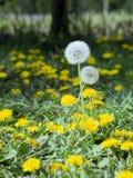 Dandelion (taraxacum officinale) Obrazy Stock