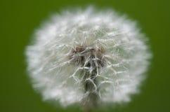 Dandelion (Taraxacum Officinale). Dandelion on a blured background (shallow DOF stock photo