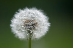 Dandelion (Taraxacum Officinale) Royalty Free Stock Photos