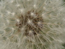 Dandelion (Taraxacum officinale). Also known as lion's tooth, puffball, blowball, and monk's head, is a major problem in turf, ornamental plantings, meadows Royalty Free Stock Photo