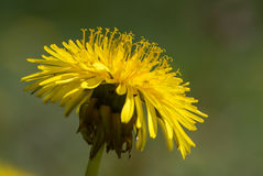 Dandelion & x28;Taraxacum officinale agg.& x29; flower showing stamens. Close up of common yellow plant in the daisy family & x28;Asteraceae& x29;, showing royalty free stock photography