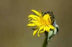 Dandelion (Taraxacum officinale agg ) kwiat połówka otwarta Obraz Royalty Free
