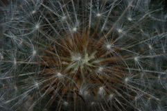 Dandelion (Taraxacum officinale). Details of dandelion seeds (Taraxacum officinale Royalty Free Stock Image