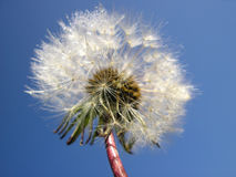Dandelion - Taraxacum officinale - with dew. Blue sky behind royalty free stock photo