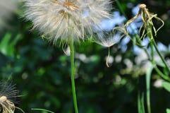 Dandelion Taraxacum officinale dispersing seeds royalty free stock image