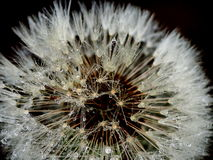 Dandelion (Taraxacum officinale) Stock Photos