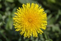 Dandelion, Taraxacum officinale Dziki żółty kwiat w naturze, zamyka up, odgórny widok Zdjęcie Royalty Free