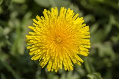 Dandelion, Taraxacum officinale Dziki żółty kwiat w naturze, zamyka up, odgórny widok Fotografia Royalty Free
