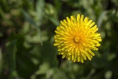 Dandelion, Taraxacum officinale Dziki żółty kwiat w naturze, zamyka up, odgórny widok Zdjęcie Stock