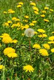 Dandelion Taraxacum officinale, flowers in the meadow, spring. A dandelion flower head composed of hundreds of smaller florets and seed head royalty free stock photography