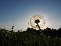 Dandelion (Taraxacum officinale) Royalty Free Stock Photos