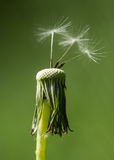 Dandelion & x28;Taraxacum officinale& x29; seedhead with achenes Stock Images