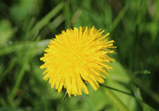Dandelion Taraxacum officinale Royalty Free Stock Photography