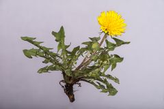 Dandelion Taraxacum officinale - Whole Plant. A dandelion plant with flower, leaves and root isolated on a greyish white backdrop royalty free stock photo
