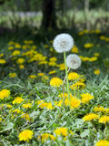 Dandelion (Taraxacum officinale) Stock Images