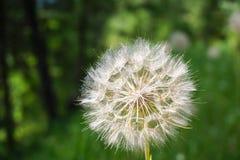 Dandelion - Taraxacum Royalty Free Stock Image