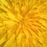 Dandelion Taraxacum Platycarpum Royalty Free Stock Image