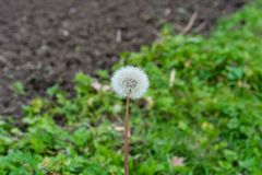 Dandelion Taraxacum sect. Ruderalia Cichorieae flower in garden in front of meadow and earth. Autumn mood Royalty Free Stock Photos