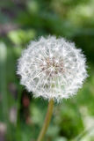 Dandelion  ( taraxacum sect ruderalia). Closeup of a dandelion with green background Royalty Free Stock Photography