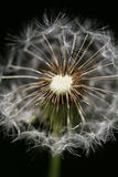 Dandelion - Taraxacum Royalty Free Stock Images