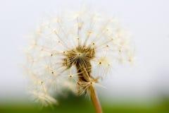 Dandelion Taraxacum Seed Head Stock Photography