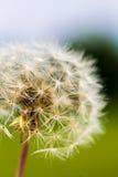 Dandelion Taraxacum Seed Head Stock Photos