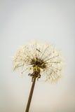 Dandelion Taraxacum Seed Head Stock Photo