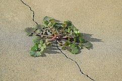 Dandelion &-x28; Taraxacum sp &-x29; roślina r z pęknięcia w betonowej płycie Zdjęcia Royalty Free