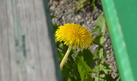 Dandelion, taraxacum. Dandelion under the bench on sunny day Royalty Free Stock Image