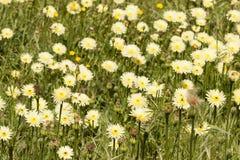Dandelion, Taraxacum, yellow flowers Royalty Free Stock Photos