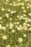 Dandelion, Taraxacum, yellow flowers Royalty Free Stock Photo