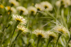 Dandelion, Taraxacum, yellow flowers Stock Photo