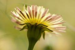 Dandelion, Taraxacum, yellow flowers Royalty Free Stock Images