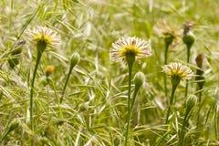 Dandelion, Taraxacum, yellow flowers Stock Image