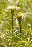 Dandelion, Taraxacum, yellow flowers Royalty Free Stock Image