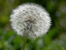 Dandelion (Taraxum officinalis) Royalty Free Stock Photos