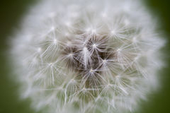 Dandelion tender texture closeup background Royalty Free Stock Photo