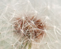 Dandelion texture Royalty Free Stock Photos