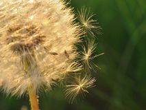 Dandelion with three falling seeds Stock Photos
