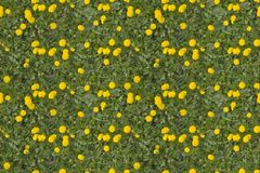Dandelion tiled texture Royalty Free Stock Image