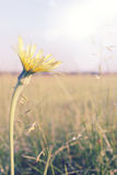 Dandelion, tinted Royalty Free Stock Photography