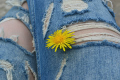 Dandelion and torn jeans. On their feet they ripped jeans dandelion royalty free stock photos