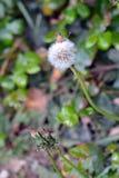 Dandelion transformacja Fotografia Stock